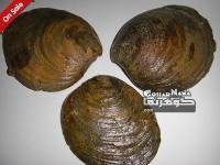 سنگهای دکوری کلکسیونی فسیل راف جانوران